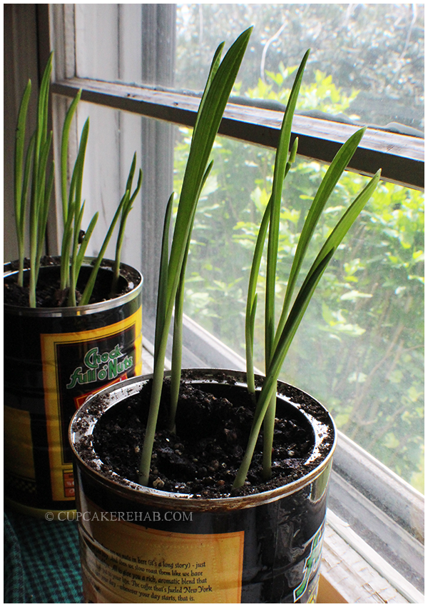 Growing your own garlic in coffee cans!