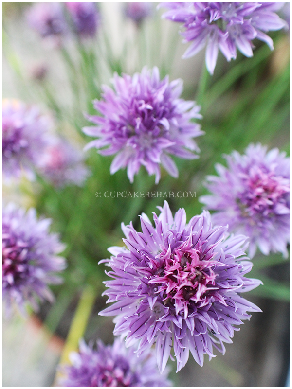 Chive blossoms, in all their glory.