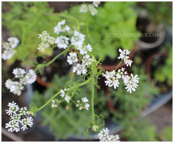 Blooming cilantro.