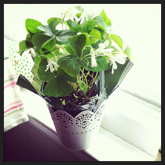 Shamrocks on the windowsill.
