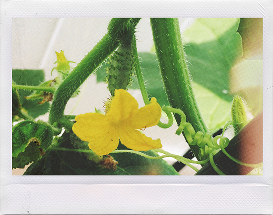 Baby pickling cucumbers