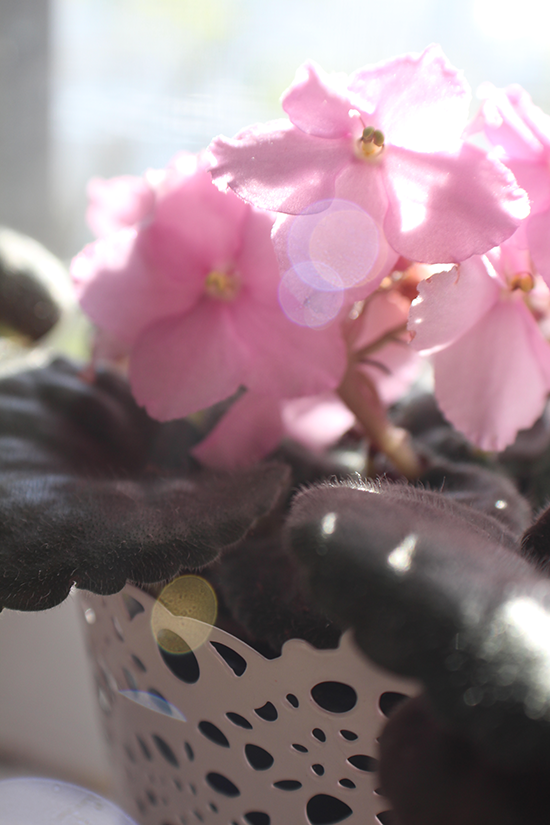 Pink African violet in the sunshine.