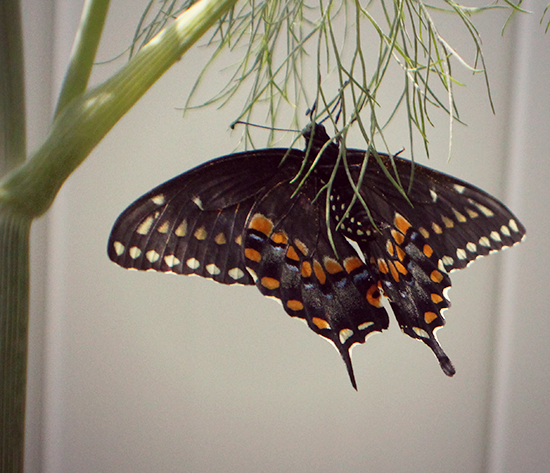 Black Swallowtail butterfly in my garden.